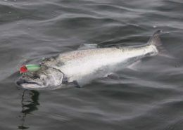 chinook-salmon-hooked-on-a-7in-plug